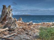 D'où vient le bois flotté ramassé sur la Côte d'Azur