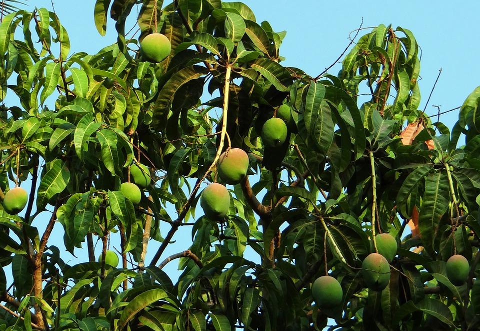 Comment faire pousser un manguier sur la côte d'azur ?